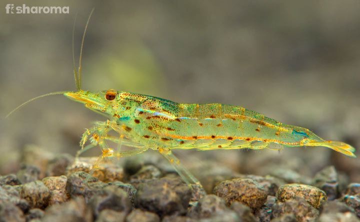 Amano Shrimp - An Ethereal Creature