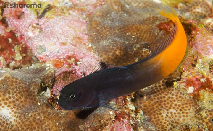 Bicolor Blenny - The Smallest Bicolor Saltwater Fish for beginners