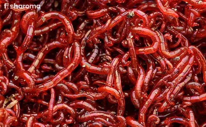 Bloodworms - Fish Food