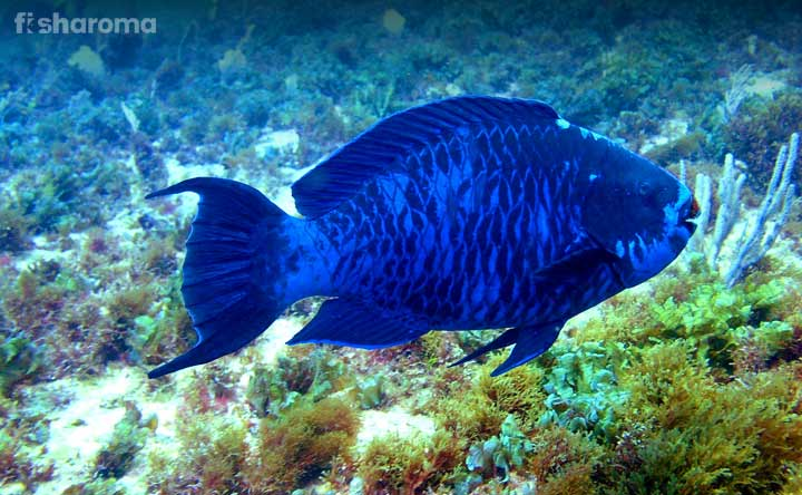 Blue Parrotfish - The Oceanic Crown