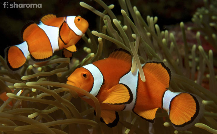 Ocellaris Clownfish - Best Saltwater Fish of Every Beginner
