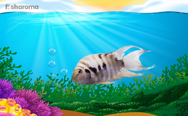 Convict Cichlid - The Freshwater Fish