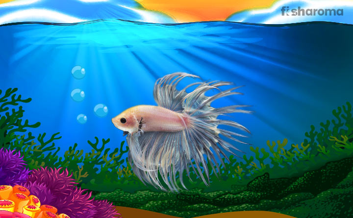 Crowntail Betta - An Aggressive Freshwater Fish