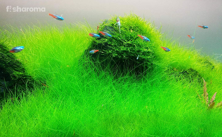 Dwarf Hairgrass - An Aquarium Carpet