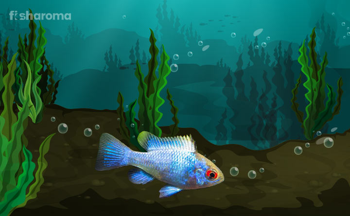 Electric Blue Ram - Mesmerizing Colorful Fish with Attractive Looks