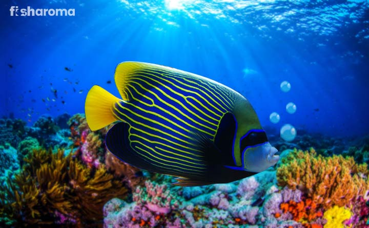 Emperor Angelfish - The King of Saltwater
