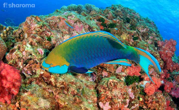 Parrotfish - The Green Beauty in Aquarium