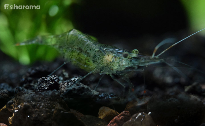 Ghost Shrimp - Algae Eater