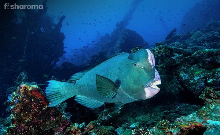 Humphead Parrotfish - The Huge Crowned King of  Sea