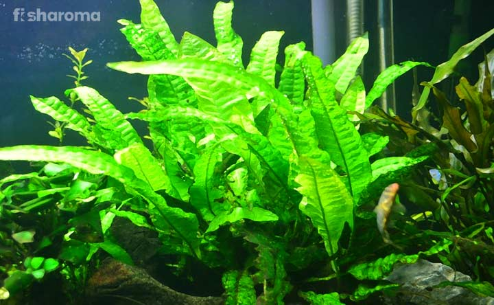 Java Fern Plant - Greenery of Water Garden
