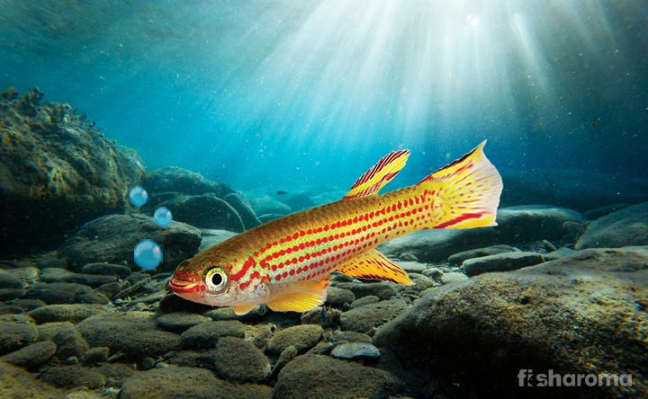 Killifish - Beautiful Dotted Fish in Your Fish Tank