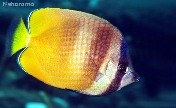 Klein Butterflyfish - The Easy to Care Beautiful Saltwater Fish