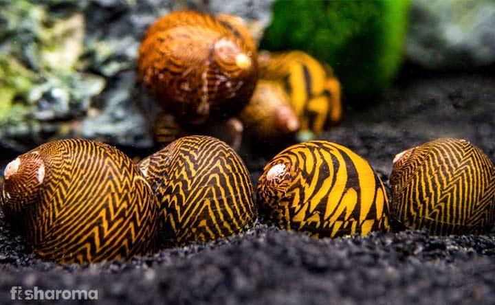Nerite Snail - Algae Eater