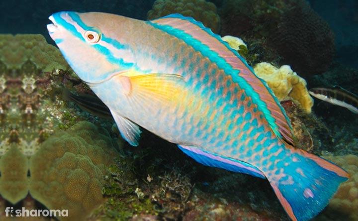 Princess Parrotfish - Crowning Glory of your Tank