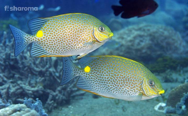 Rabbitfish - Adorable Aquatic Buddy for Aquarium