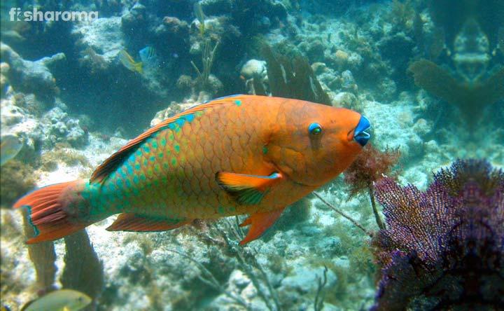 Rainbow Parrotfish - Multi-Shaded Fish of Sea