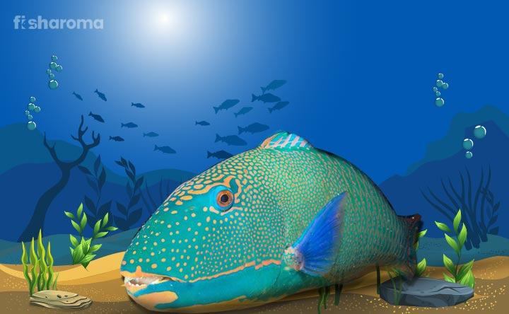 Rainbow Parrotfish - Green Beauty of  Saltwater