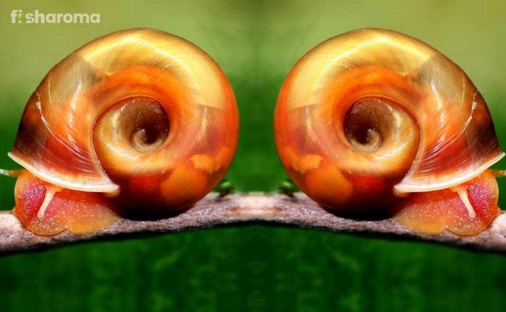 Ramshorn Snails - Algae Eater