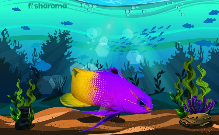 Royal Gramma - The Most Colorful Fish