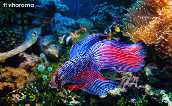 Siamese Fighting Fish - A Beautiful Finned Fish