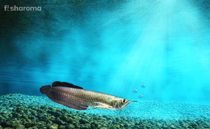 Silver Arowana - The Silver Beauty of River