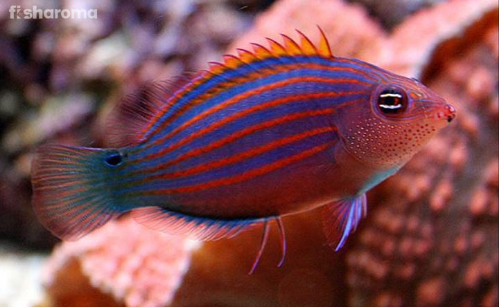 Six-Line Wrasse - Cute Saltwater Fish