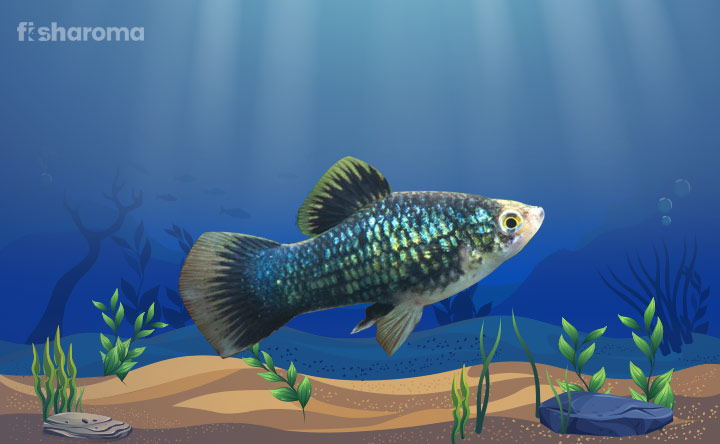 Southern Platyfish - Small Colorful Fish to your Tank