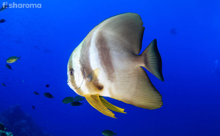 Batfish - The Long Finned Water Species