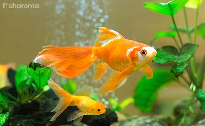 Comet Goldfish Detailed Care Guide To Take Care Of The Fish