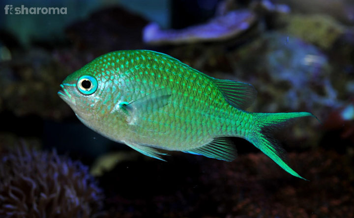 Green Chromis _Definite Care Guide