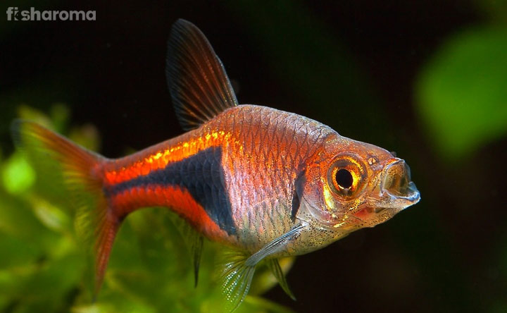 Harlequin Rasbora - Shoaling Fish