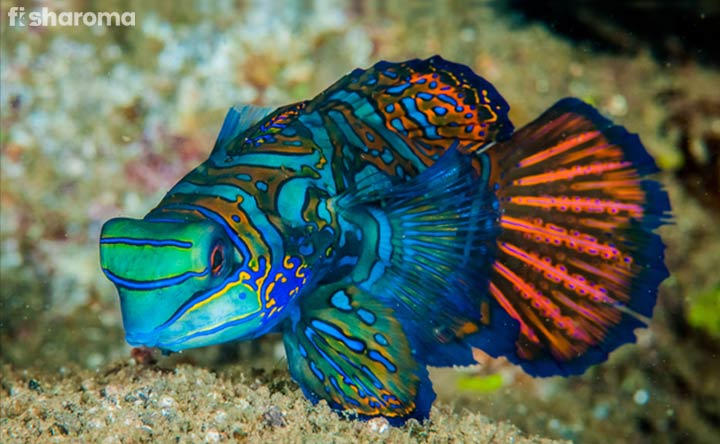 Mandarinfish - A Saltwater Species