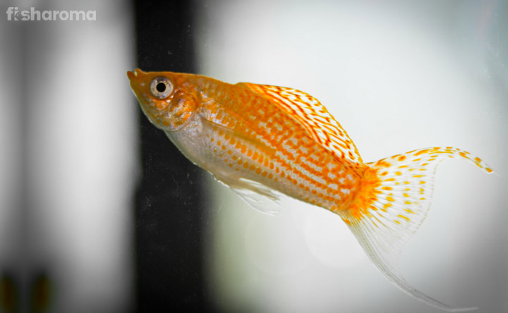 Molly Fish - Cute Little Breed in Your Aquarium