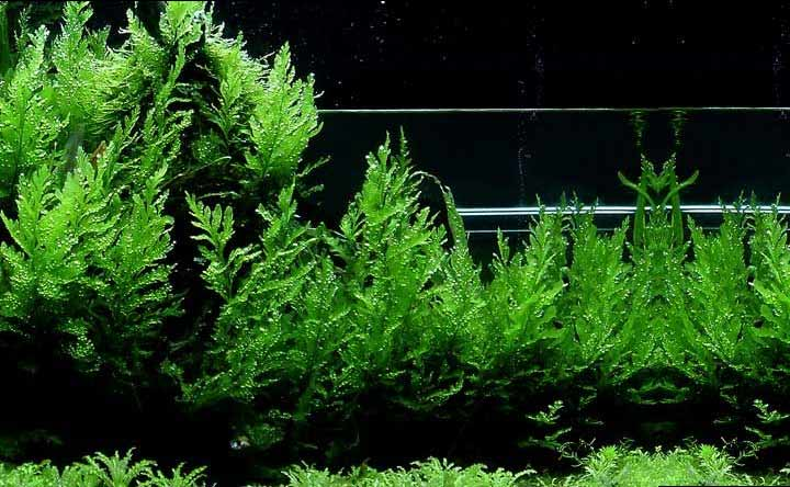 African Water Fern - Aquatic Plant