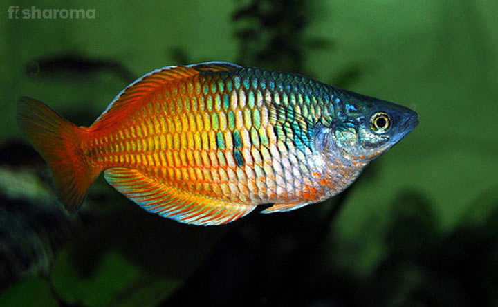 Boseman's Rainbow Fish