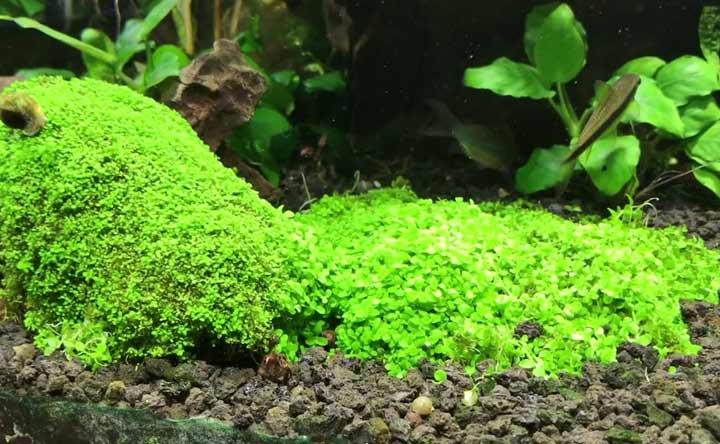 Dwarf Baby Tears - Aquatic Plant