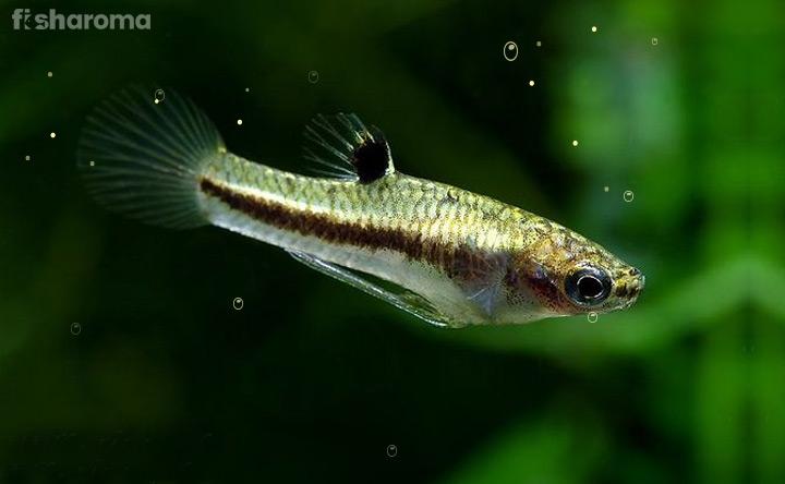 Least Killifish