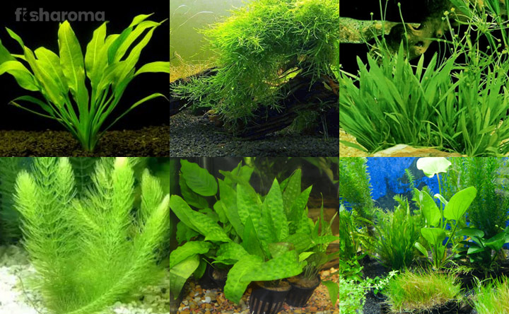Plants as Betta fish Tankmates