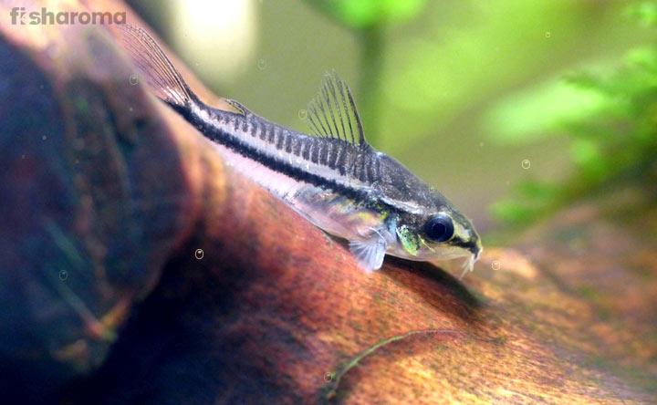 Pygmy Corydoras