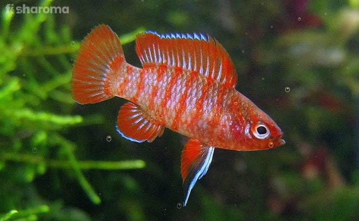 Scarlet Badis