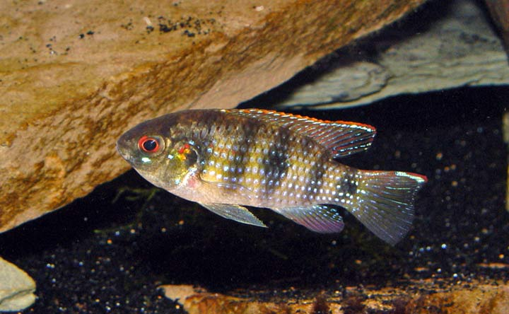 African Butterfly Cichlid - African Cichlid