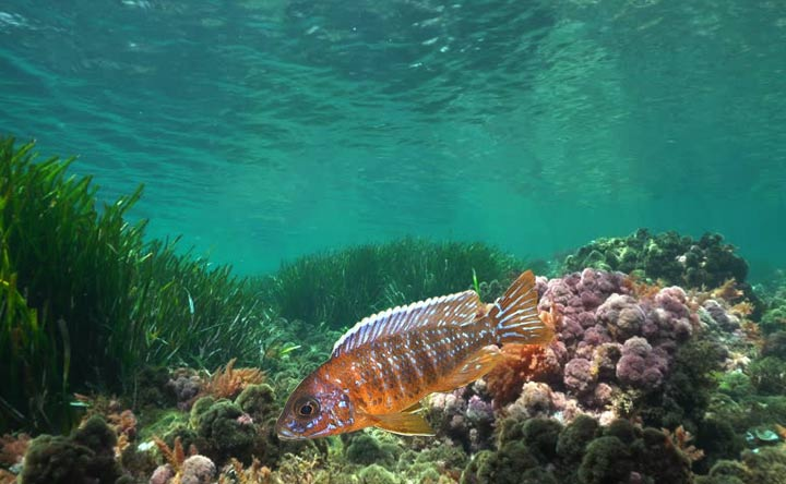 African Peacock Cichlid - African Cichlid