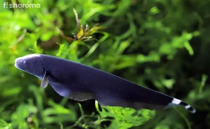 Black Ghost Knifefish - Care Guide