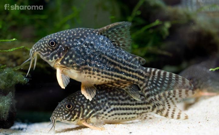 Cory Catfish