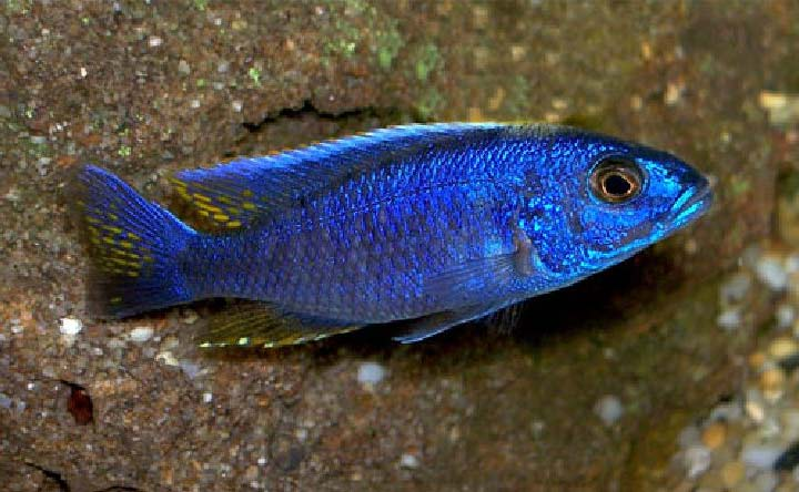 Electric Blue Hap Cichlid - African Cichlid