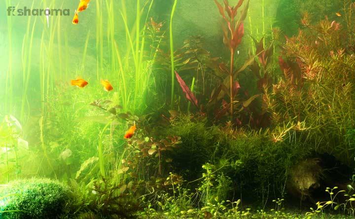 Aquarium Algae - How to get rid of them