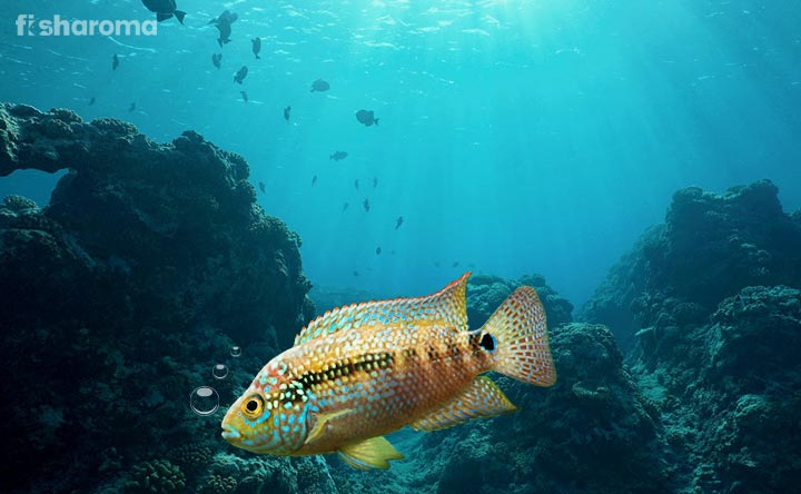 Jack Dempsey Fish - Freshwater Aquarium Pet
