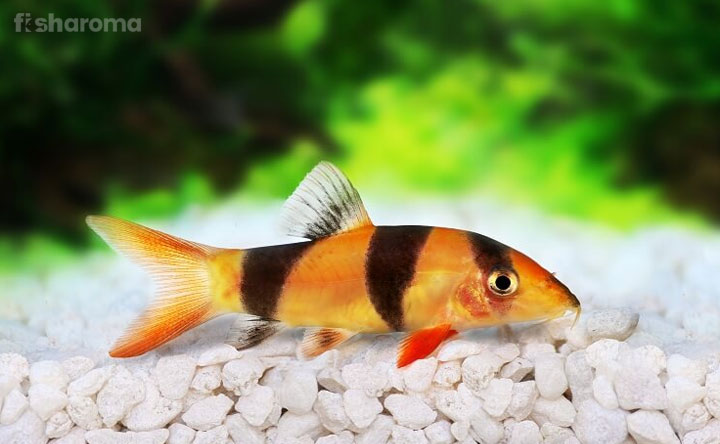 Clown Loach - Freshwater Species