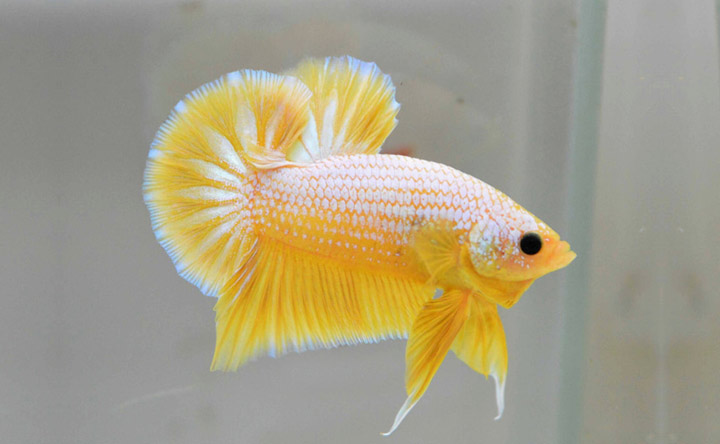 Round Tail Betta Fish