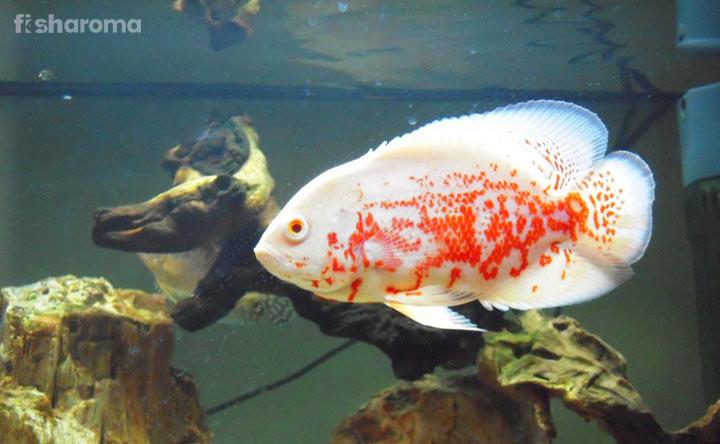 Oscar Fish Types